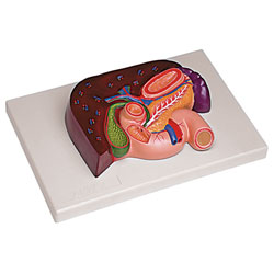 Liver with Gallbladder, Pancreas, and Duodenum Model