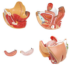 Large view  Female Genital Organs Model (4 Parts)