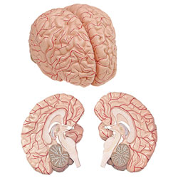 Brain with Arteries Model (2-Part)